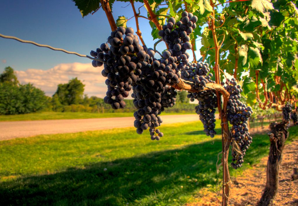 Brock's Business School Adds New Grape and Wine Industry Program