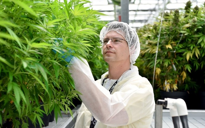 Commercial cannabis industry is bringing the jobs to Niagara