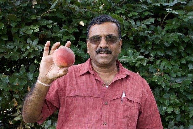 New peach varieties being developed by Vineland Research